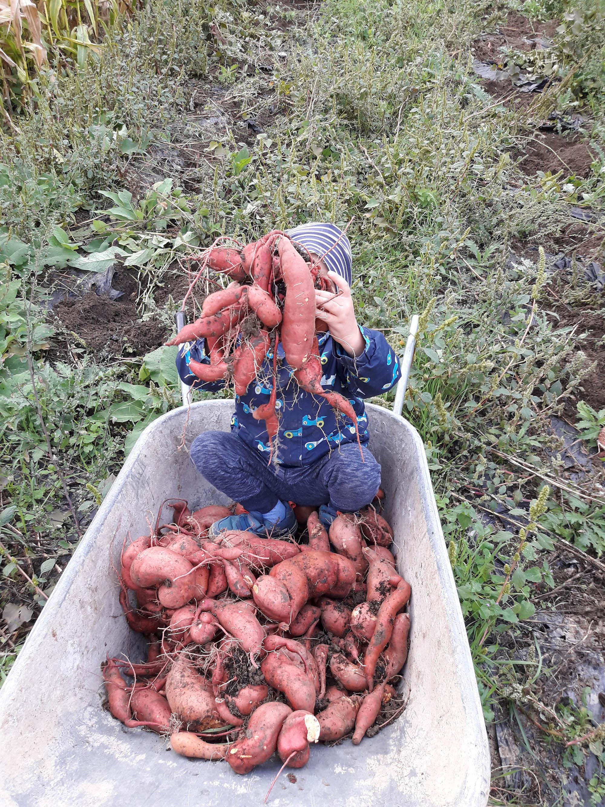 Neudlhof - Süßkartoffel