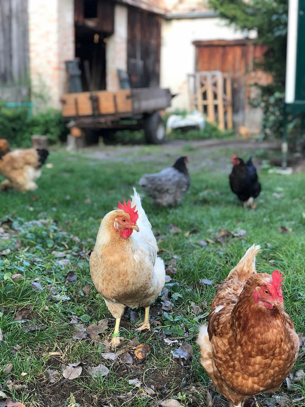 Neudlhof - Hühner